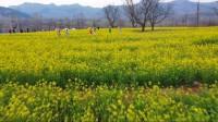 拥抱春天 云端赏景|花香人醉!潍坊青州百亩油菜花盛放