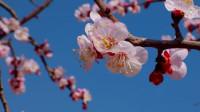 27秒丨滨州无棣400余亩杏花竞相开放 游人花海踏浪赏美景