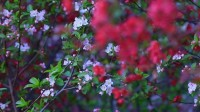 这就是山东丨黄河三角洲北美海棠园花开正艳 静待游客一睹芳华