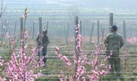 43秒丨威海荣成千亩桃树花开满枝头 赏花共期致富路