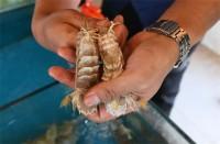 尝鲜要抓紧!威海南海新区爬虾正肥美
