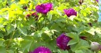 55秒丨48年树龄的巨型牡丹覆盖半个院子 花香四溢冠绝群芳