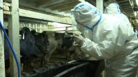 4403头!青岛口岸迎来今年首批进口种牛,为近年数量最多一次