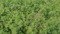 21秒|滨州无棣柳堡打造特色牧草小镇 每亩增收近千元