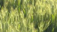 34秒|临沂郯城:农技专家到地头指导小麦后期管理 确保夏粮丰收
