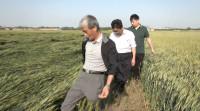 36秒丨暴雨致使日照岚山区600多亩小麦倒伏 农业部门积极开展生产自救