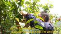 110秒 | 青岛崂山42万株樱桃成熟待客来 线上线下助销售