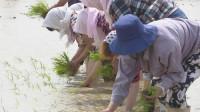 59秒|2020年海水稻全国联合插秧启动 海水稻三产融合发展模式落地潍坊