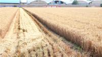 52秒丨东营农业专家组分赴生产一线 确保夏粮颗粒归仓