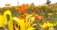 这就是山东丨竞相绽放景色宜人 泰安新泰万亩百合花盛开