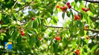 【小康之约】短视频:果香弥漫 樱桃红了